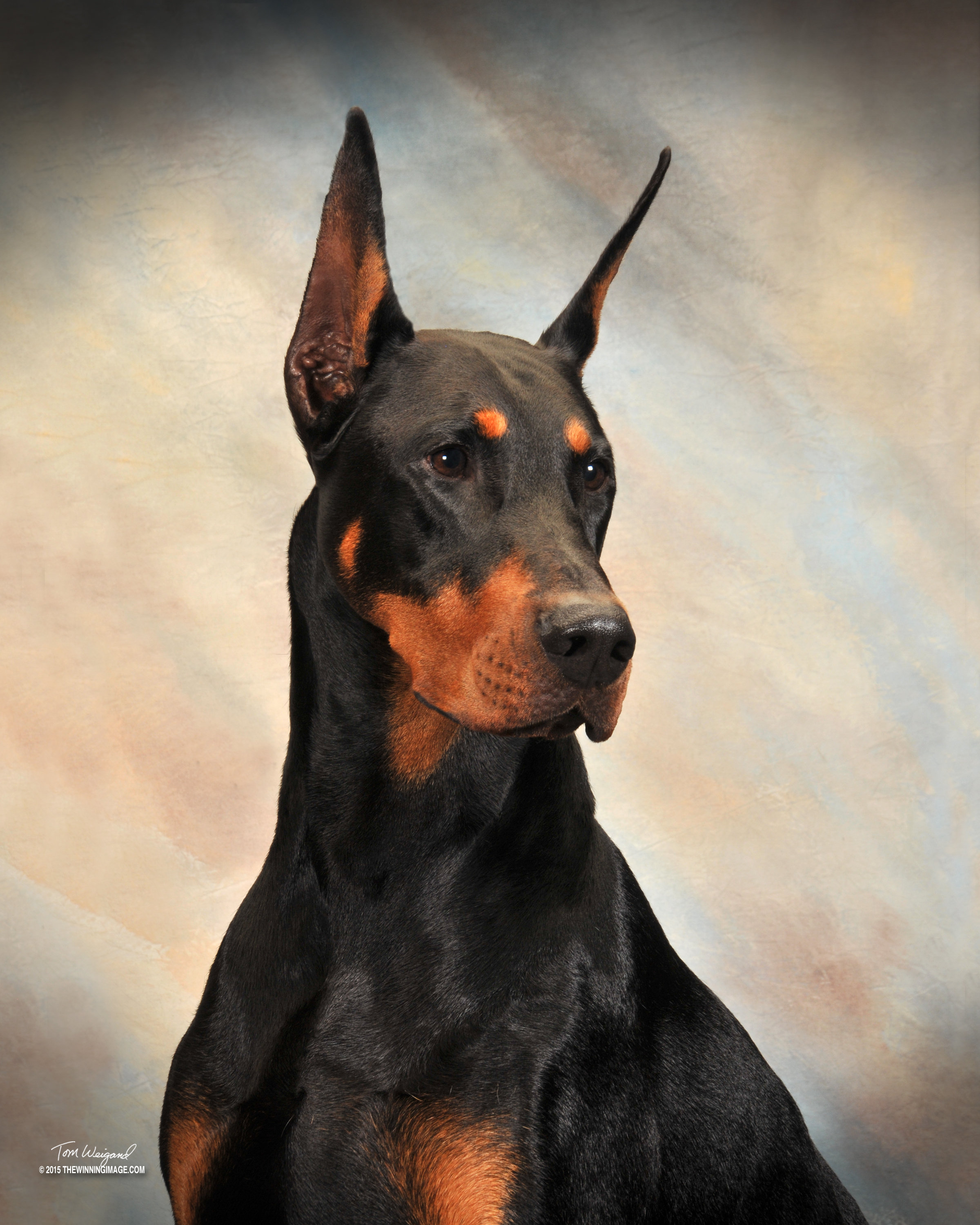Ozzy | Element Dobermans